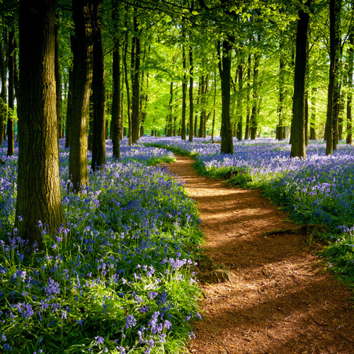 bluebell path ashley woods britain